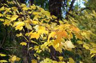 Stock Photo of bright yellow autumn leaves  ..
