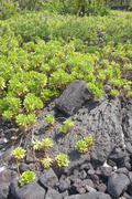 Stock Photo of green plants growing on old lava flow..