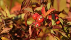 Rose (Rosa) with rose hips Stock Footage