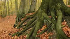 Common beech (Fagus sylvatica) in Grumsin Beech Forest, Biosphere Reserve - stock footage