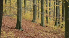 Common beeches (Fagus sylvatica) in Grumsin Beech Forest, Biosphere Reserve - stock footage