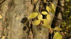 Persian ironwood (Parrotia persica) Stock Footage