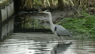 Stock Video Footage of Grey heron (Ardea cinerea) in a drained garden pond