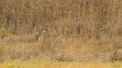 Stock Video Footage of Grey heron (Ardea cinerea) and reed (Phragmites australis)