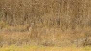 Grey heron (Ardea cinerea) and reed (Phragmites australis) Stock Footage