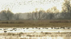 Greylag geese (Anser anser), Unteres Odertal National Park, Germany Stock Footage