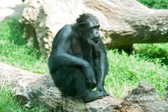 Stock Photo of male silver back gorilla sitting