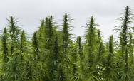 Stock Photo of hemp field detail