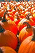 pumpkins on pumpkin patch - stock photo