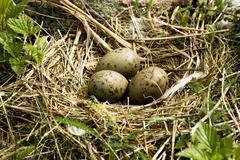 nest with eggs - stock photo