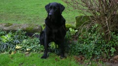 Labrador poses to camera and then walks away Stock Footage
