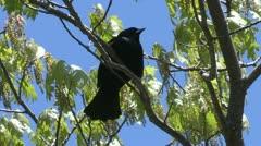 Red wing blackbird in spring tree Stock Footage