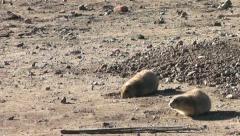 Prairie Dogs III Stock Footage