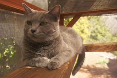 Russian Blue Cat On Porch - stock photo