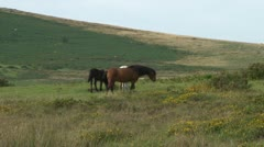 Dartmoor Ponies Stock Footage