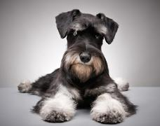 miniature schnauzer puppy - stock photo