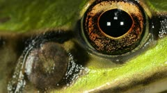 Neotropical green frog (Lithobates palmipes) - stock footage