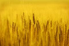 golden rye field - stock photo