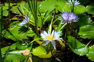 Blue lotus flowers or water lilies Stock Photos