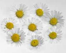 daisy flower arrangement - stock photo