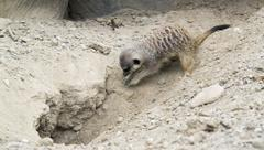 Stock Photo of digging meerkat