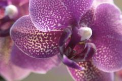 violet orchid closeup - stock photo