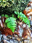 North Carolina ferns Stock Photos