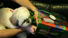Puppy dog opening Christmas Xmas gift Stock Footage