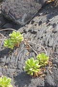 green plants growing on old lava flow.. - stock photo