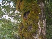 Mossy grown beech tree Stock Footage