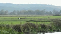 Great egret (Casmerodius albus) on a flood meadow, Unteres Odertal National Stock Footage