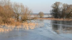 White willow (Salix alba) and reed (Phragmites australis) on a flooded and Stock Footage
