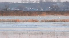 Whooper swans (Cygnus cygnus) on a flooded and frozen polder meadow, Unteres Stock Footage