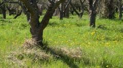 Dandelion (Taraxacum officinale) in an orchard Stock Footage