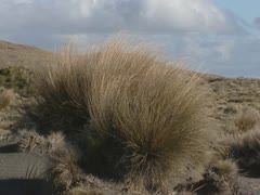Tussock grass in Rangipo desert + zoom out Stock Footage