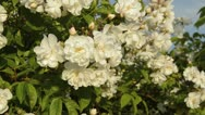 Stock Video Footage of Multiflora rose (Rosa multiflora 'Plathyphylla')