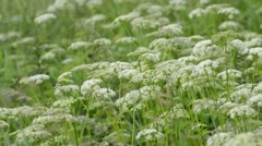 Ground elder (Aegopodium podagraria) Stock Footage