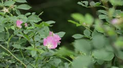 Dog rose (Rosa canina) Stock Footage