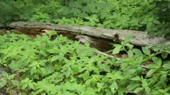Small balsam (Impatiens parviflora) at a dead tree trunk Stock Footage
