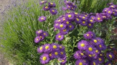 Aspen fleabane (Erigeron speciosus 'Dominator') and common lavender (Lavandula - stock footage