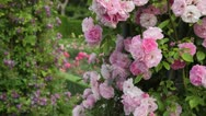 Stock Video Footage of Rose (Rosa Tausendschoen)