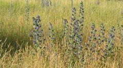 Viper's bugloss (Echium vulgare) Stock Footage