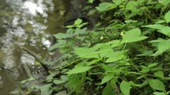 Small balsam (Impatiens parviflora) at a brook Stock Footage