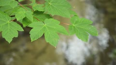 Norway maple (Acer platanoides) at a brook Stock Footage