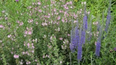 Field restharrow (Ononis arvensis) and common speedwell (Veronica officinalis) Stock Footage