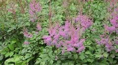 Garden astilbe (Astilbe arendsii) Stock Footage