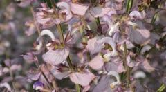 Clary (Salvia sclarea) Stock Footage
