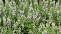 Goat's rue (Galega officinalis) Stock Footage