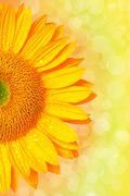 Auringonkukka Kuvituskuvat