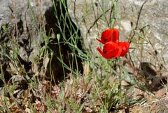 poppy flowers on stony ground - stock photo